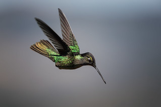 Magnificent Hummingbird | by Rob & Amy Lavoie