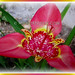 Tigridia pavonia flower covered with red speckles in the center