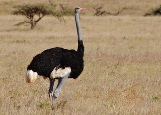 Somali ostrich (Struthio molybdophanes) | by Susan Roehl