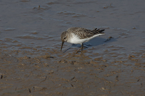 IMGP0446c Dunlin, Titchwell, February 2018 | by bobchappell55