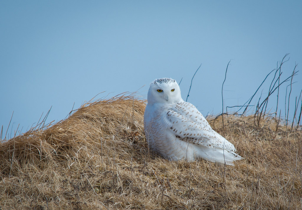 snowy owl every winter snowy owls migrating from the arcti flickr