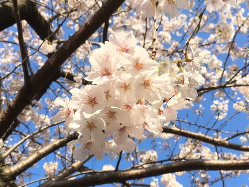 2018.3.25 桜 恵比寿たこ公園