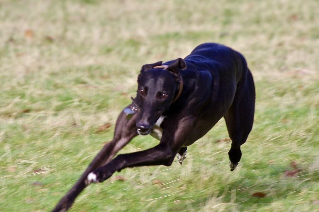 Greyhound Running | Caleb Borough Hill, Daventry | David ...