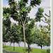 Barringtonia asiatica can grow between 7-25 m tall