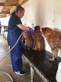 Sarah washing dogs at placement.