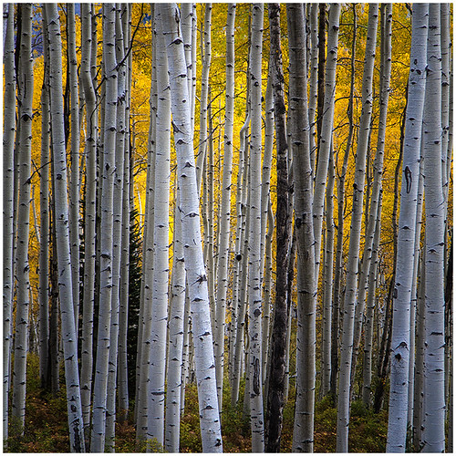 07 - Birch Stand by Bill Dixon | by Nature Camera Club