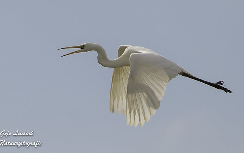 Zilver Reiger White Heron | by gijs leusink1