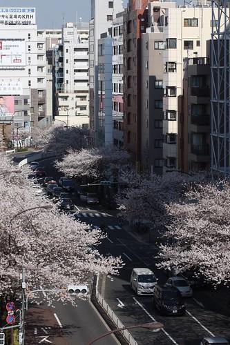 2018.3.25 桜 明治通り 恵比寿と広尾の間