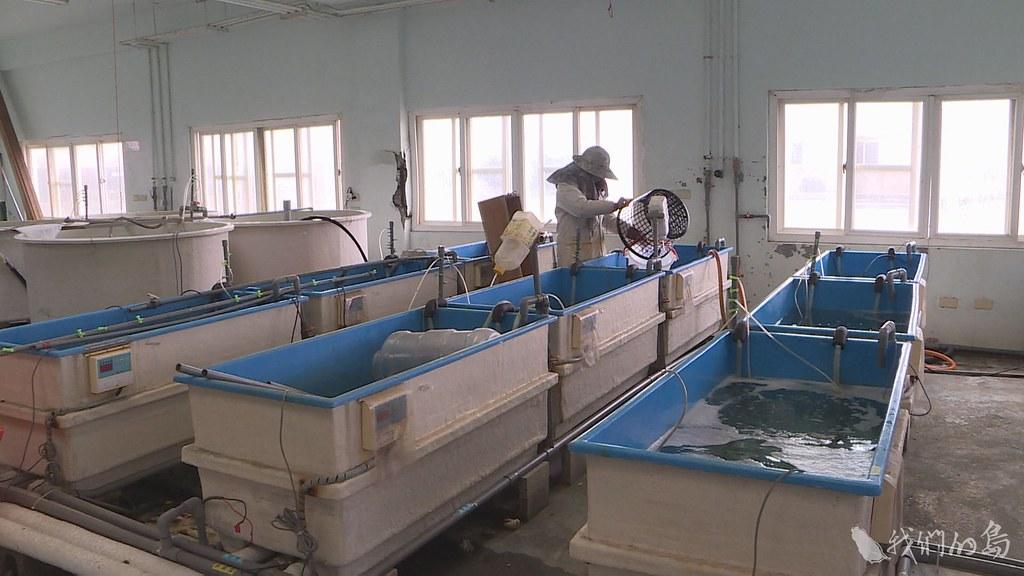 946-1-44水試所海水繁養殖研究中心,幾年前開始研發人工附苗技術。