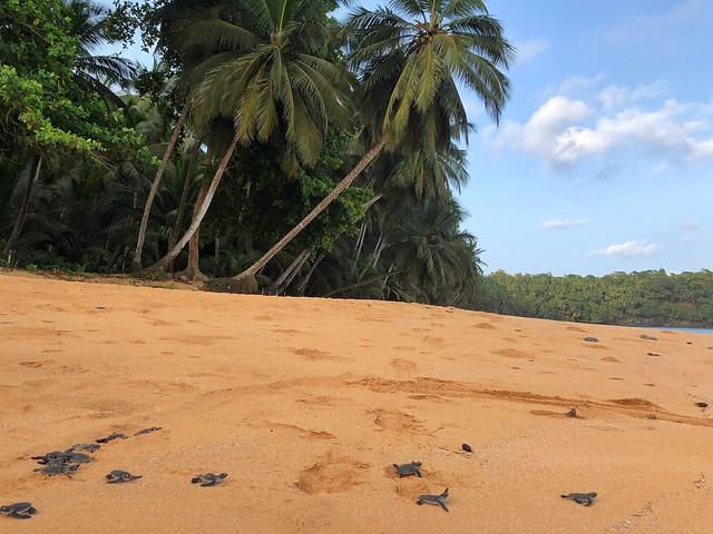 Tortugas marinas recién salidas del cascarón (Praia Larga, Santo Tomé y Príncipe)