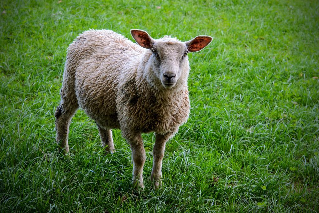sheepish inquisitive sheep chris hamilton flickr