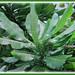 20-40 cm long green leaves of Barringtonia asiatica