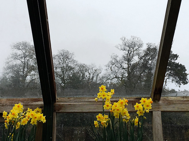 Narcissus in a greenhouse on a rainy day