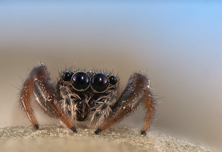 Jumping Spider | by Macro Cosmos Microscopy