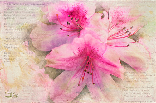 Image of a group of Pink Azaleas