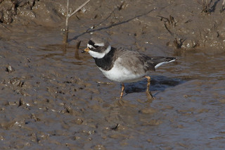 IMGP0725a Ringed Plover, Titchwell, February 2018 | by bobchappell55