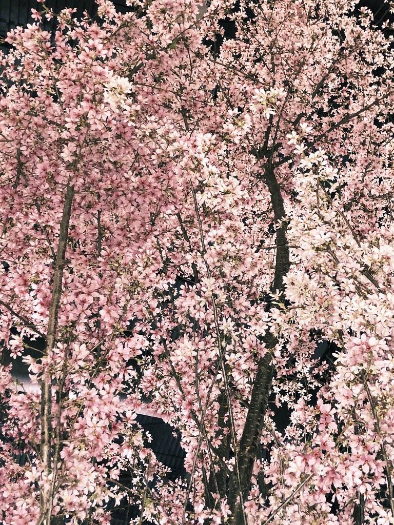 Philadelphia Flower Show cherry blossom tree
