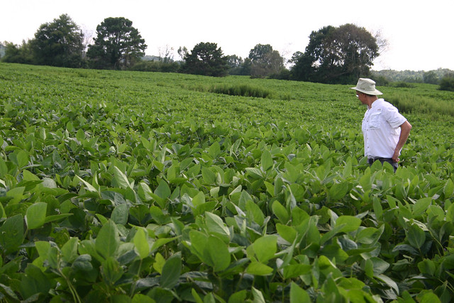 An Auburn University researcher surveys a soybean field