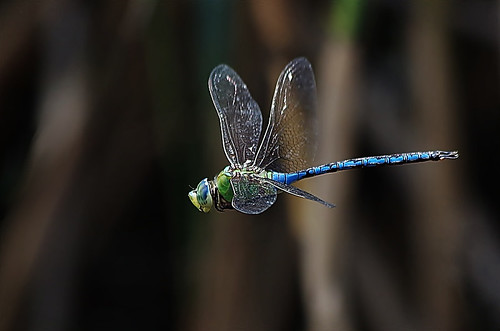 Dragonfly in flight | by noelcmn