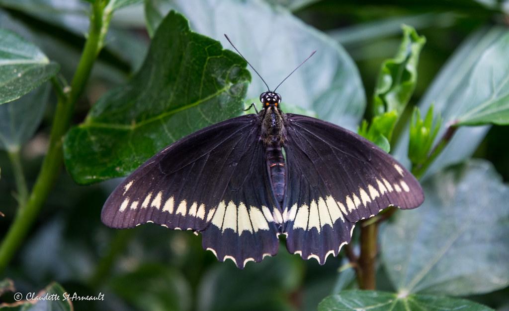 Battus Polydamas Papillons En Fete Jardin Hamel L Ancien Flickr