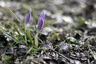 Crocuses - is spring comming? | by Andre Hauschild