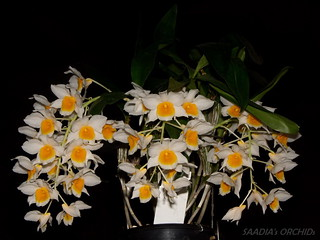 Dendrobium farmeri | by TwilightShadow