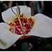 Striking Tigridia pavonia 'Alba' with 3 large white outer petals
