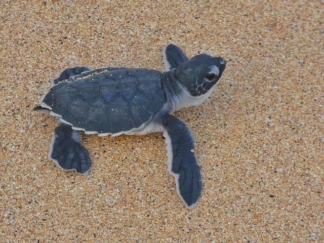 Cría de tortuga marina (Santo Tomé y Príncipe)