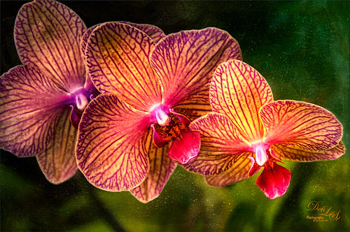 Image of some Hawaiian Orchids