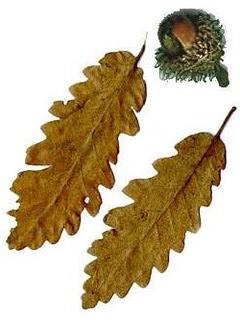 frutto e foglie del cerro