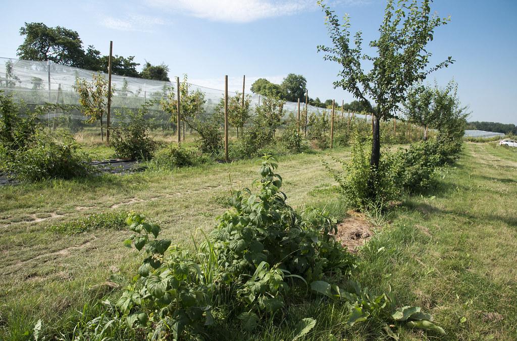Junges Agroforstsystem in der Schweiz, Foto: Agrosope, Gabriela Brändle