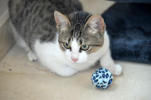 Alfred, gatito blanquipardo de ojos verdes nacido en Junio´18, en adopción. Valencia. ADOPTADO. 44126171770_aa646b6a1b