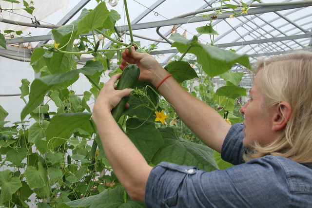 Mollie Smith picks cucumbers in a greenhouse.