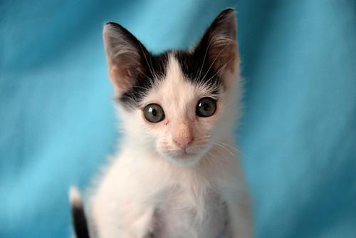 Morad, gatito blanco con toques negros muy juguetón nacido en Octubre´18, en adopción. Valencia. 45942704611_77601690dd
