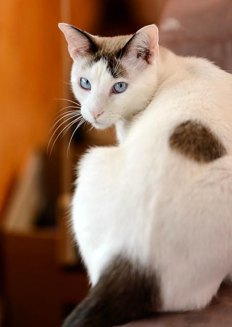Blau, gato cruce Snowshoe nacido en enero´17 esterilizado, apto para gatos machos, en adopción. Valencia. 46157692432_84212c20f4_z