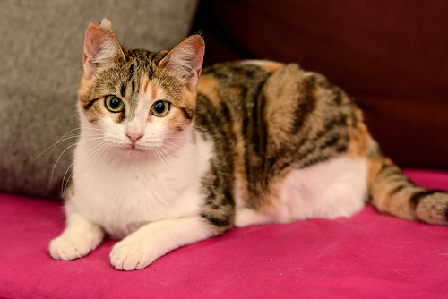 Casandra, gatita tricolor monísima y súper buena esterilizada, nacida en Mayo´18, en adopción. Valencia. ADOPTADA. 31237928417_556453c071