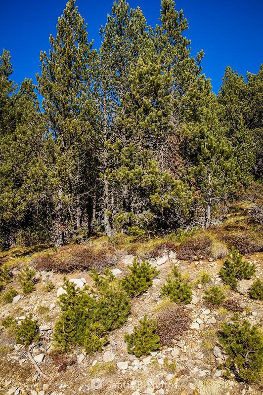 Pinos de diferentes tamaños en Plateau de Beille