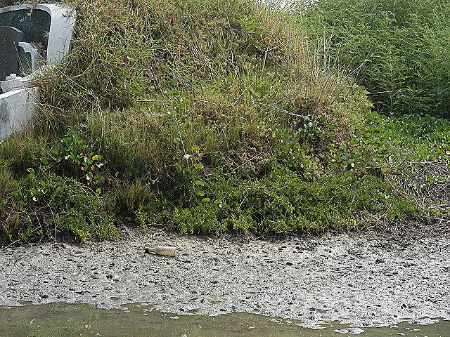 海南草海桐在將軍區的分布潮溝區。圖片來源:謝宗欣