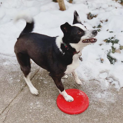 #frisbeeislife #bordercollie #bordercolliemix | by valatal