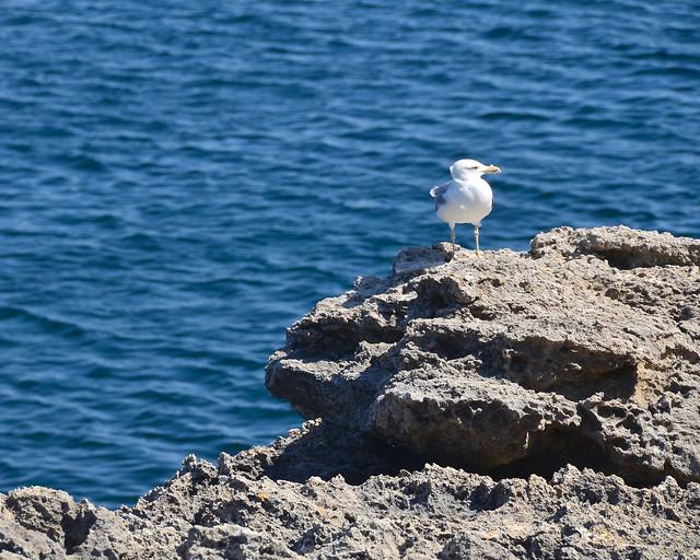 Gaviota en Menorca