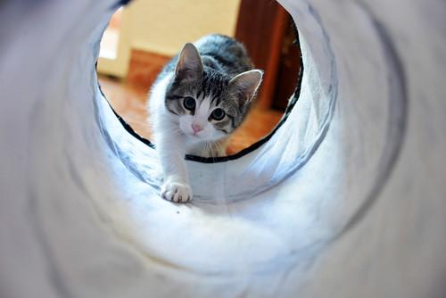 Morris, gatito blanquipardo muy guapo y activo nacido en Octubre´18, en adopción. Valencia. ADOPTADO. 31384659907_3e408b99de