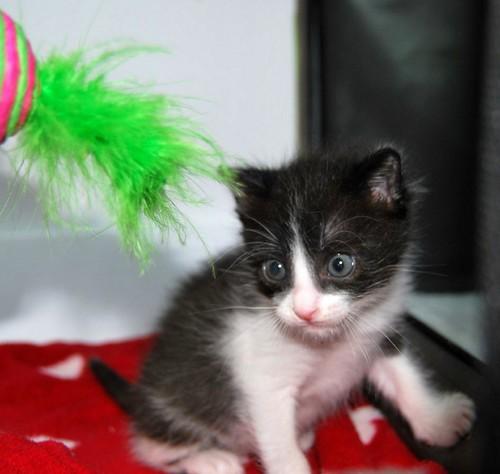 Hugo, gatito blanquinegro adorable nacido en Octubre´18, en adopción. Valencia. ADOPTADO. 43969909820_0f39fe198e