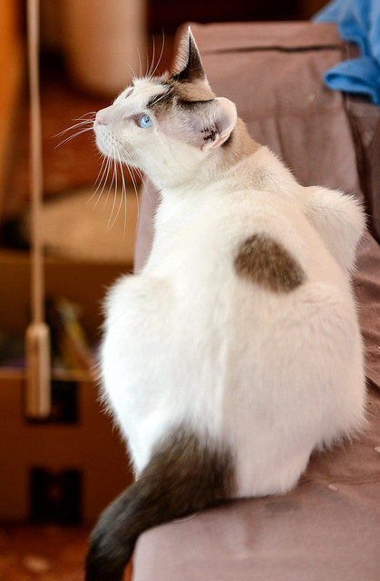 Blau, gato cruce Snowshoe nacido en enero´17 esterilizado, apto para gatos machos, en adopción. Valencia. 46157693672_c4d88ffaa1_z