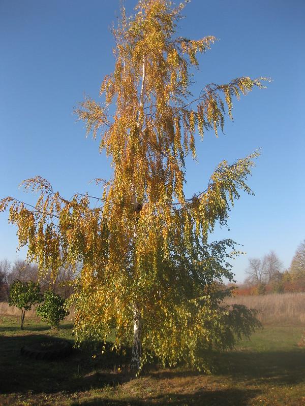 Осенняя берёзка