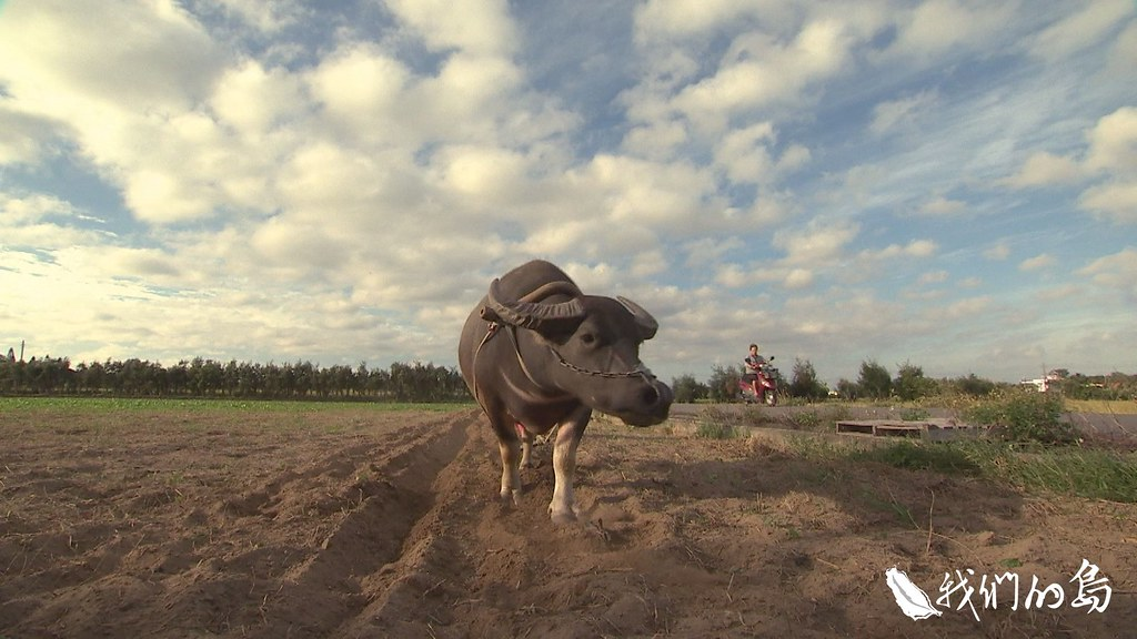 受到新竹水牛學校創辦人李春信影響,高一鑫投入自然農法,也開始養水牛。
