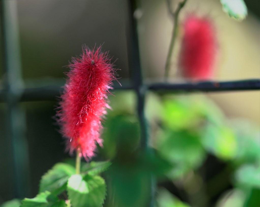 Acalypha Pendula Fire Tail Hoi Yan Kam Flickr