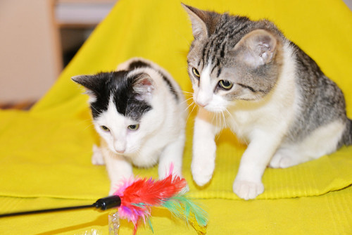 Morris, gatito blanquipardo muy guapo y activo nacido en Octubre´18, en adopción. Valencia. ADOPTADO. 44507073150_bd7a3571cd