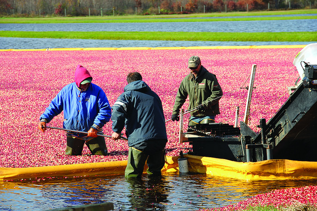 Farmers harvest cranberries