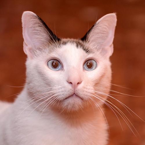 Blau, gato cruce Snowshoe nacido en enero´17 esterilizado, apto para gatos machos, en adopción. Valencia. 46157695412_30c8c9c1a7
