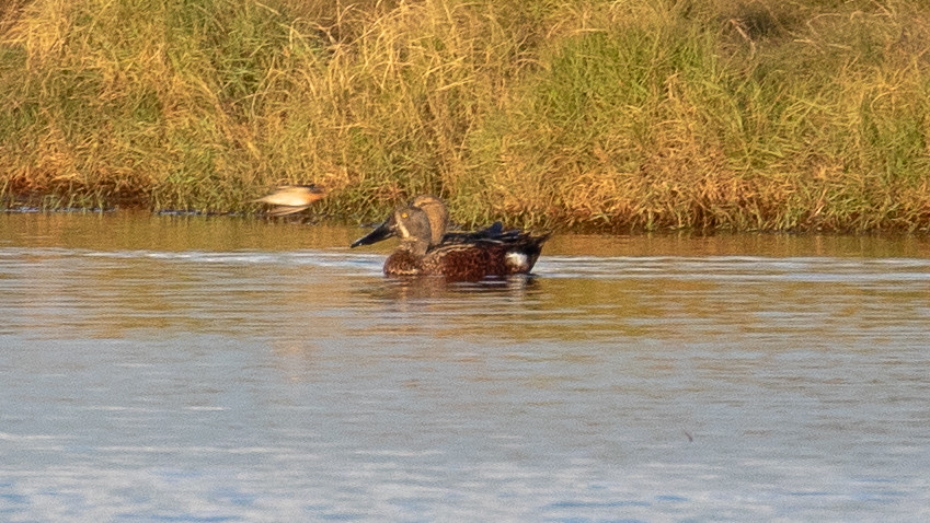 Rare nomadic visitor to waterways and lakes across the city during autumn and winter. Occurrence fluctuates year-to-year, likely as a result of conditions further inland where this species is more common. Not of conservation concern. Photo by Louis Backstrom, Kedron Brook Wetlands, 6 Jun 2018